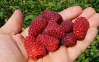 Малина Карамелька: описание ремонтантного сорта, особенности выращивания, плодоношение, урожайность, отзывы, фото