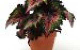 Бегония императорская: описание и фото комнатного растения, уход в домашних условиях, особенности размножения