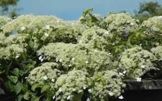 Гортензия вьющаяся/черешковая Петиоларис (Hydrangea anomala subsp. Petiolaris):фото и описание, посадка и уход в Подмосковье