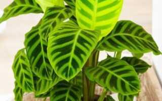 Калатея полосатая (зебрина): описание и фото растения, выращивание и правила ухода в домашних условиях