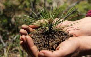 Как посадить сосну: выращивание в открытом грунте, уход за сосной на даче, когда лучше сажать — весной или осенью