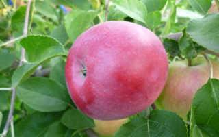 Яблоня Победа: описание и характеристика сорта, особенности выращивания дерева на участке, фото