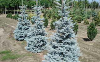 Ель голубая колючая Ольденбург (Picea pungens Oldenburg): описание и фото, посадка и уход за деревом, использование в ландшафтном дизайне