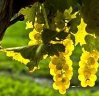 Виноград «Шардоне»: описание сорта, фото, отзывы