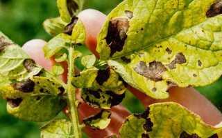 Почему сохнет ботва картофеля: период цветения, основные причины высыхания, что при этом делать, видео