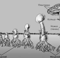 Сколько растёт гриб подосиновик после дождя и при какой температуре