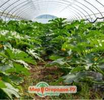 Кабачки в теплице из поликарбоната: выращивание и уход, как поливать и чем подкармливать