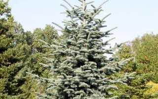 Пихта высокорослая Глаука (Abies Procera Glauca): описание дерева, посадка, последующий уход, фото