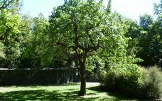 Груша сорта Говерла: подробная характеристика сорта, особенности выращивания и ухода на участке, фото