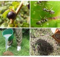 Тля и муравьи на смородине: как избавиться и чем обработать, как спасти растение, народные и профессиональные средства