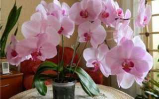 Почему у орхидеи засох цветонос: основные причины, что делать в таком случае, когда нужно его обрезать