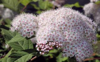Спирея: посадка и уход в открытом грунте, фото, как вырастить и ухаживать в саду летом и осенью