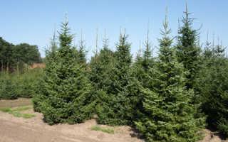 Ель сербская Пендула Брунс (Picea omorica Pendula Bruns): описание с фото , использование в ландшафтном дизайне