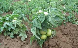 Как выбрать лучшие сорта низкорослых томатов для теплиц: крупноплодные, поздние, скороспелые