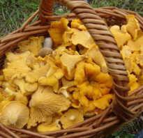 Где растут лисички в Подмосковье и Московской области, когда собирать, грибные места и сезон сбора