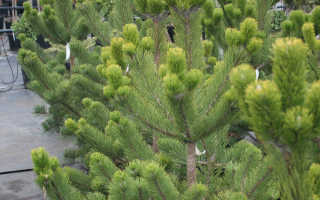 Сосна чёрная Орегон Грин (Oregon Green) — фото и описание
