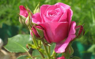 Самые душистые сорта роз: названия и описание с фото