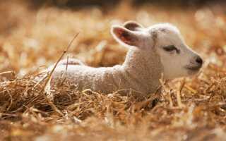 Как правильно называется детёныш овцы и барана (самка и самец), как выглядит малыш