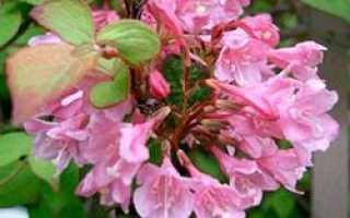 Вейгела — размножение: черенками и отводками, летом, осенью и весной, как правильно и когда можно размножать кустарник, фото и описание