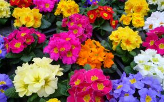 Примула садовая многолетняя: сорта и виды с названием и описанием, правильный уход