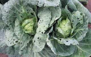 Болезни и вредители цветной капусты, борьба с ними, советы с фото