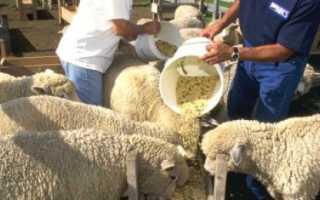 Правила разведения и выращивания овец на мясо в домашних условиях: особенности и тонкости, время откорма
