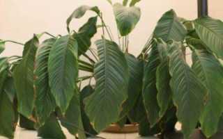 Почему вянет спатифиллум: причины, что можно сделать, как вылечить растение пересадкой?