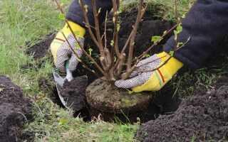 Пересадка облепихи весной на новое место: как пересадить на новое местоположение, когда можно и нужно пересаживать, лучше весной или осенью