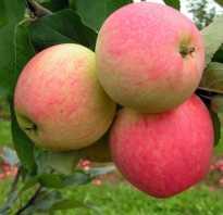 Яблоня сорта Мечта: описание и характерные отличия, агротехника выращивания и уход за деревом, фото