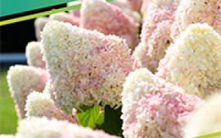Сорт крупноплодной чёрной смородины Памяти Потапенко: внешний вид и описание, фото