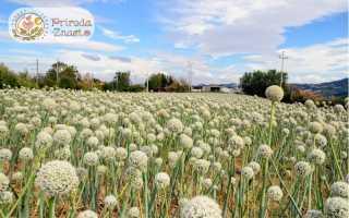 Лук шалот: что это такое, описание, как выглядит, чем отличается от репчатого, выращивание из семян, фото, видео