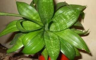 Сансевиерия Ханни: характеристика и описание растения, особенности ухода и выращивание в домашних условиях, фото