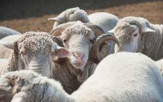 Одна из древних пород овец — калмыцкая курдючная: отличительные черты породы, описание, видео