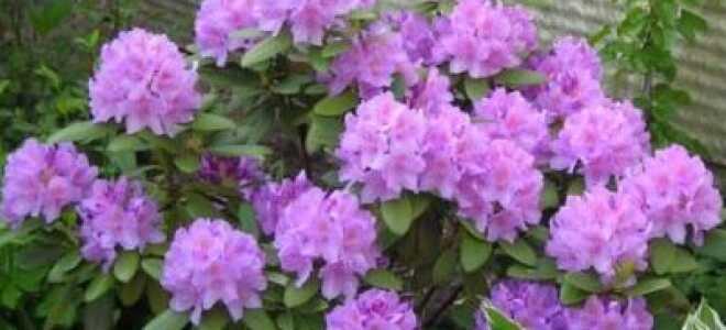 Рододендрон Грандифлорум (Catawbiense Grandiflorum, катевбинский гибридный): посадка и уход, фото и описание сорта, зимостойкость