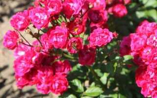 Полиантовые розы: описание и фото, выращивание и уход в домашних условиях, посадка, обрезка и размножение