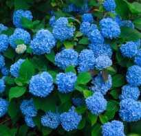 Чем полить гортензию для изменения цвета лепестков, как поменять оттенок с помощью народных средств, от чего зависит окраска цветков