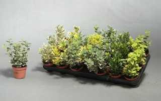 Бересклет комнатный (домашний): описание с фото, посадка цветка и уход за ним в домашних условиях, размножение растения, все виды и сорта