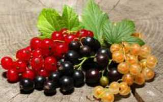 Сорт чёрной смородины Тамерлан: описание, агротехника, уход, фото