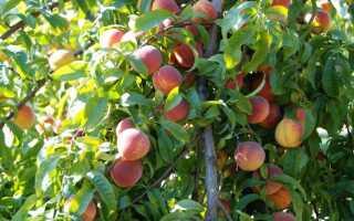 Обрезка персиков осенью: виды, оптимальные сроки проведения, правила обрезки для начинающих