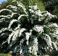 Спирея: фото и описание кустарника, как выглядят куст и листья, как цветёт спирея, размножение