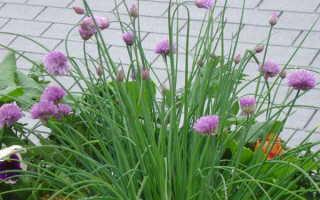 Шнитт-лук: выращивание и уход, в открытом грунте, из семян, посадка осенью под зиму, в домашних условиях, фото