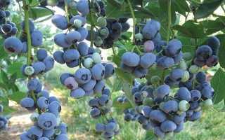 Сорт садовой крупноплодной голубики Блюголд (Bluegold): описание, сроки созревания, посадка и уход,фото