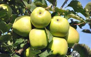 Яблоня Мутсу: описание и характеристика сорта, где растут, особенности выращивания, фото, отзывы