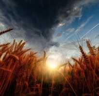 Сорт пшеницы Гром: характеристика и описание сорта, какая норма высева и урожайность, количество зёрен в колосе