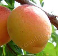 Абрикос Полесский крупноплодный: характеристика и описание сорта, посадка и уход за деревом, фото