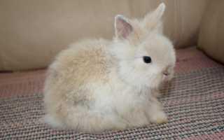 Кролик карликовый: особенности содержания и ухода в домашних условиях