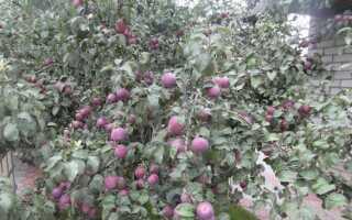 Яблоня «Имант»: характеристики и описание сорта, особенности посадки и ухода за деревом, фото