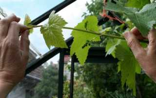 Обрезка винограда летом в средней полосе: советы для начинающих, уход в июне, июле, августе