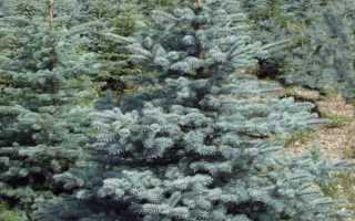 Ель колючая Супер Блю: описание и фото (Picea pungens Super Blue), характеристики и высота