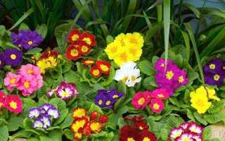 Посадка примулы и уход за ней в открытом грунте: как сажать, куда лучше посадить, посадка в домашних условиях после покупки, болезни цветка